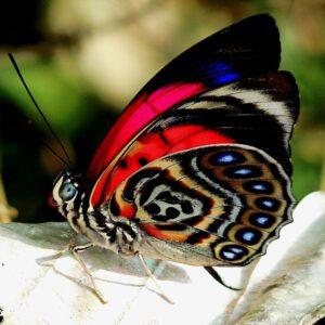 Diurnal butterflies
