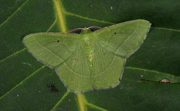 Spanner (Geometridae, Mi.) Foto (Mitte): Robert Trusch