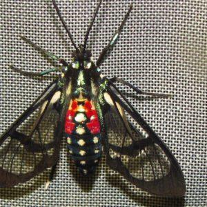 'Woolly bear' moths