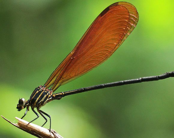 Fauna de libélulas