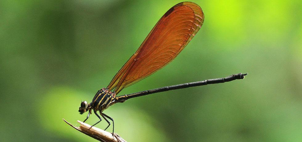 Libellenfauna