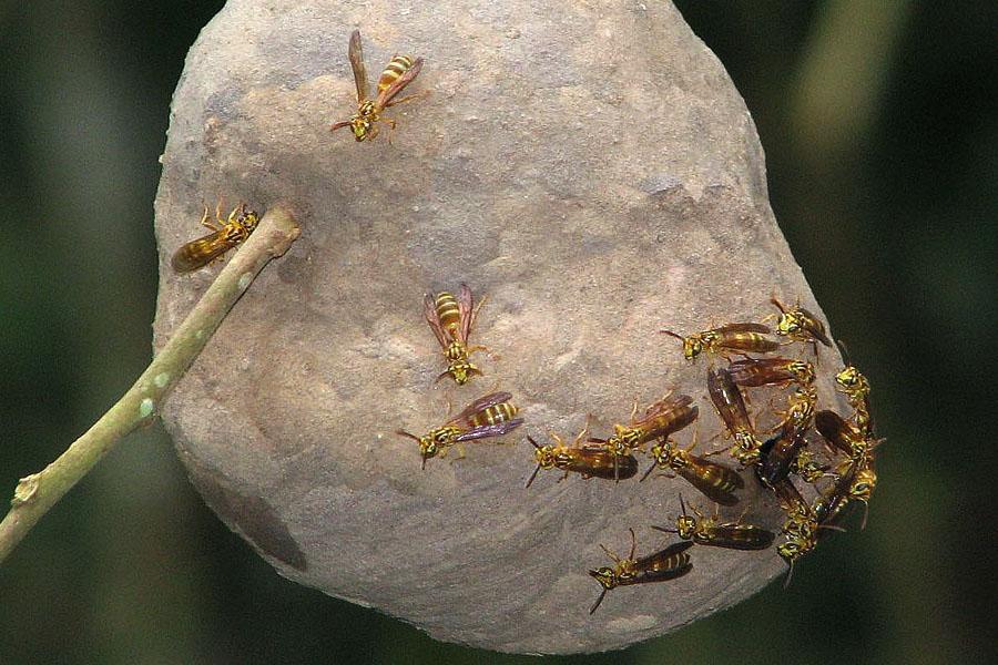 Faltenwespen auf ihrem Nest (Vespidae)