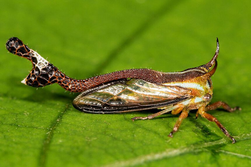 Thorn-bug treehopper