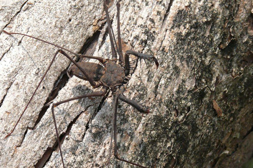 Whip spider (Amblypygi)
