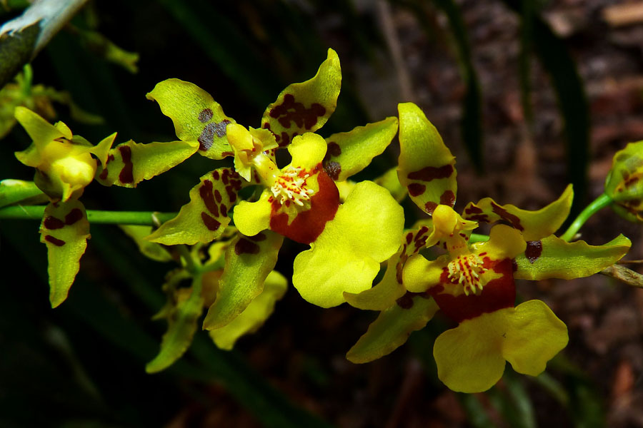 A very ornamental orchid from the genus Oncidium