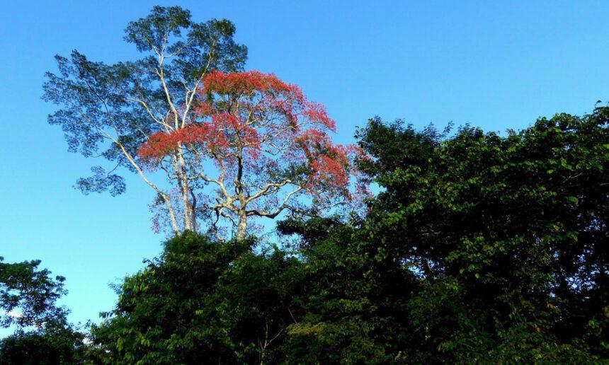 Die leuchtend rosarote Blütenpracht der Punga (Pachira sp., Malvaceae, Bombacoideae), eines nahen Verwandten des Kapok-Baumes), hebt sich schon von weitem als Farbfleck vor dem Grün des Waldes oder dem Blau des Himmels ab