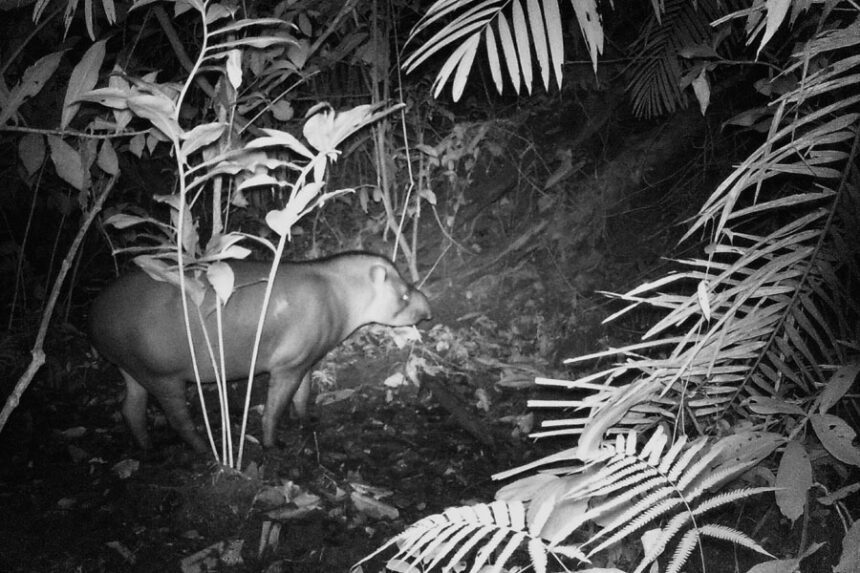 Ein Tapir (Tapirus terrestris) trinkt in den Morgenstunden das mineralhaltige Wasser in einer colpa im Waldesinneren (Wildkamera-Foto)
