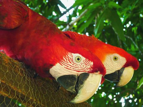 Keine Geschwister! Gleich zwei rote Ara-Arten blicken hier misstrauisch in die Kamera: vorne ein Grünflügelara (Ara chloropterus), dahinter ein Arakanga oder Scharlachara (Ara macao)sa