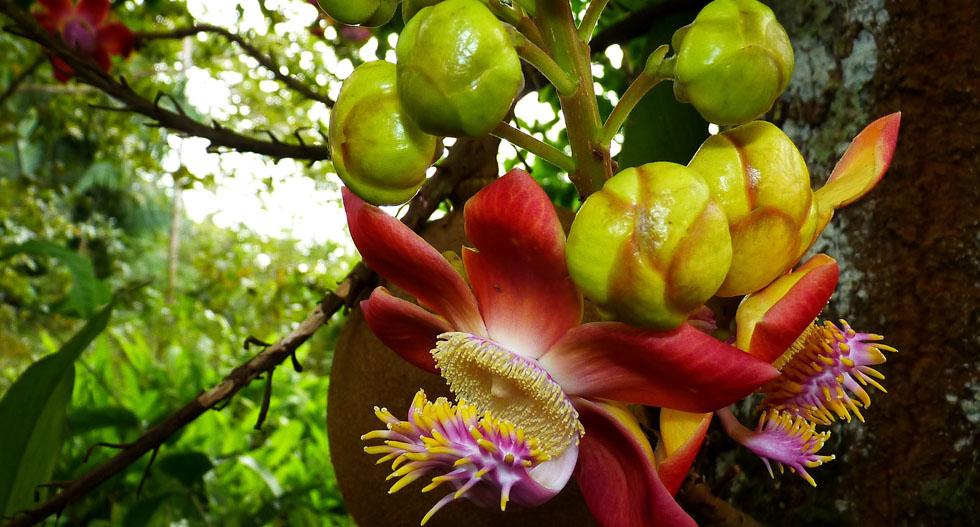 Die bizarren Blüten des Kanonenkugelbaumes, eines Verwandten der Paranuss, werden auch von Fledermäusen bestäubt, die harten Fruchtkugeln (hinter der Blüte) nur von Agutis am Boden geöffnet (Couroupita guianensis, Lecytidaceae)