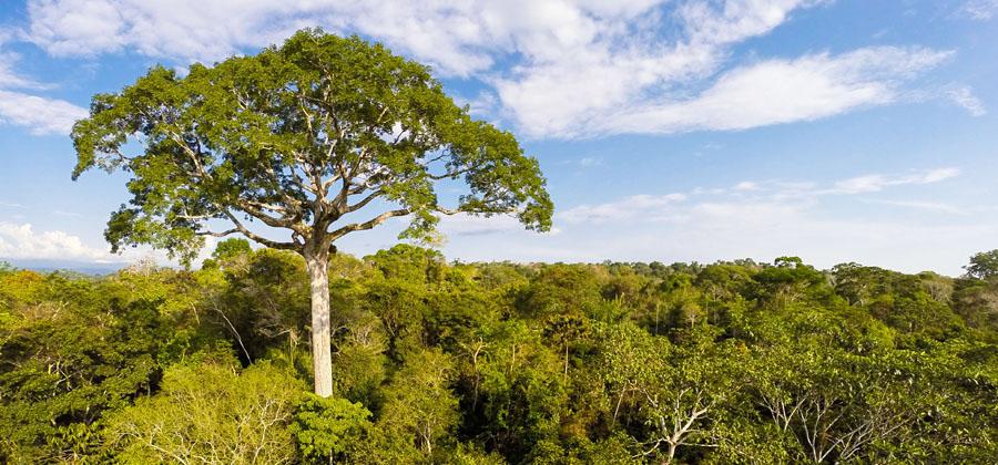 El símbolo: un árbol de lupuna de 50 metros de alto y más de 300 años de antiguedad (Ceiba pentandra, Malvaceae, Bombacoideae) Foto: Konrad Wothe (con el dron)
