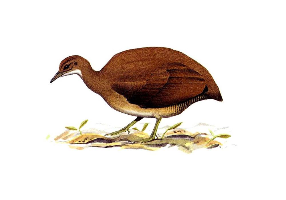 Panguana, der Wellentinamu, Crypturellus undulatus, Tinamidae (aus: Pearson & Beletsky, 2001)