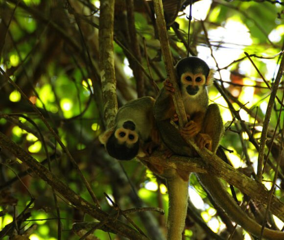 Black-capped Squirrel Monkeys (Saimiri boliviensis) are curious about the photographer. Photo by Robert Retzko